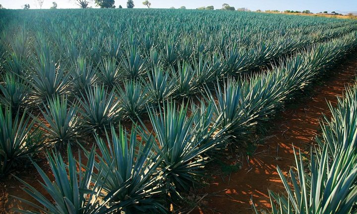 agave plant in rows