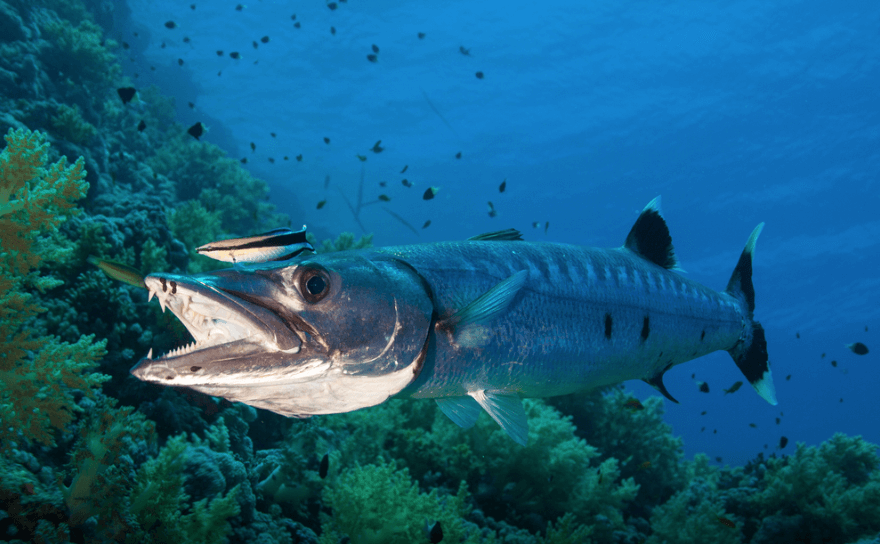 barracuda snorkeling