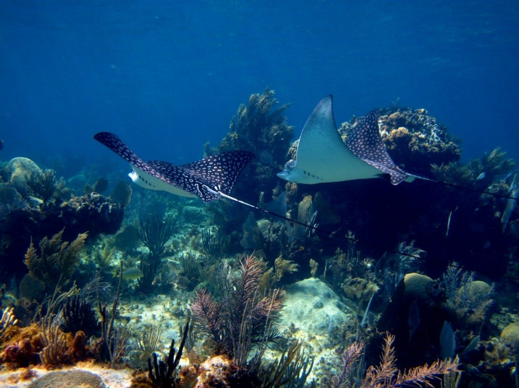 Spotted eagle rays swim at a coral reef in Playa del Carmen