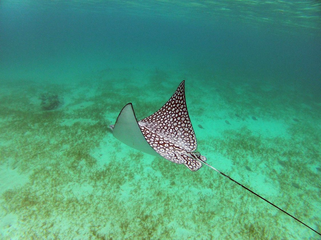 spotted eagle ray conservation in playa del carmen playa del