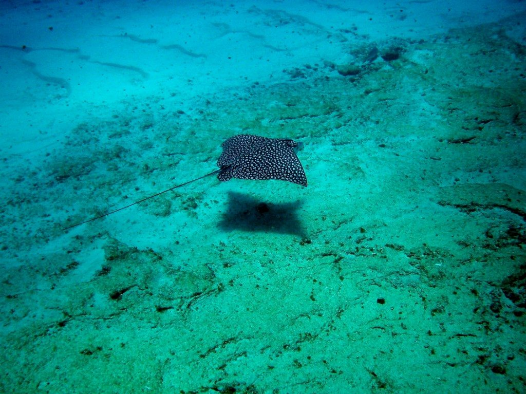A spotted eagle ray off the coast of Cozumel Island
