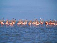 Rio Largartos Flamingos