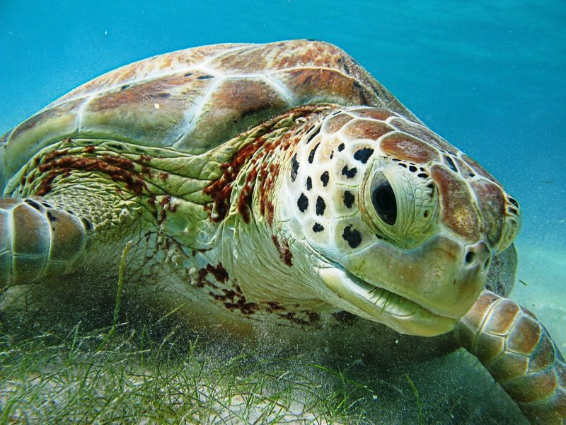 Sea turtle spotted while snorkeling at Akumal Bay, Mexico