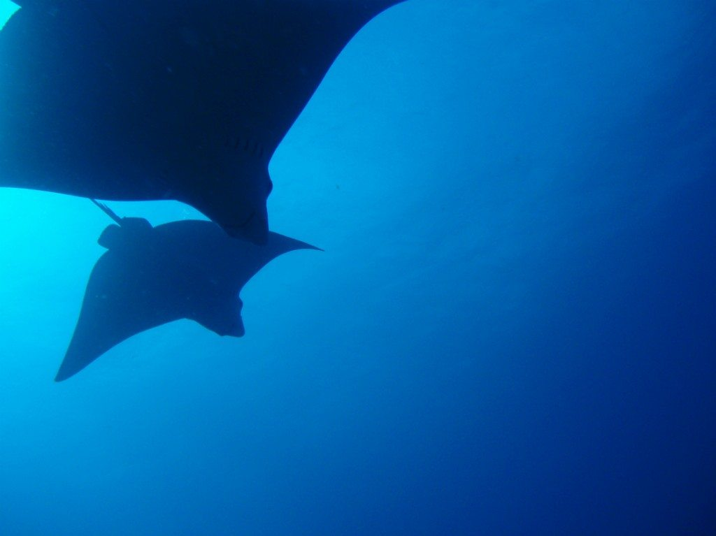 Spotted eagle rays pictured from below in the Caribbean Sea